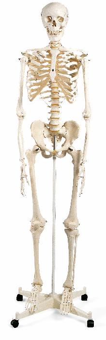 Menschliches Skelett - ivo haas Lehrmittelversand   Verlag 1f20c49687d81